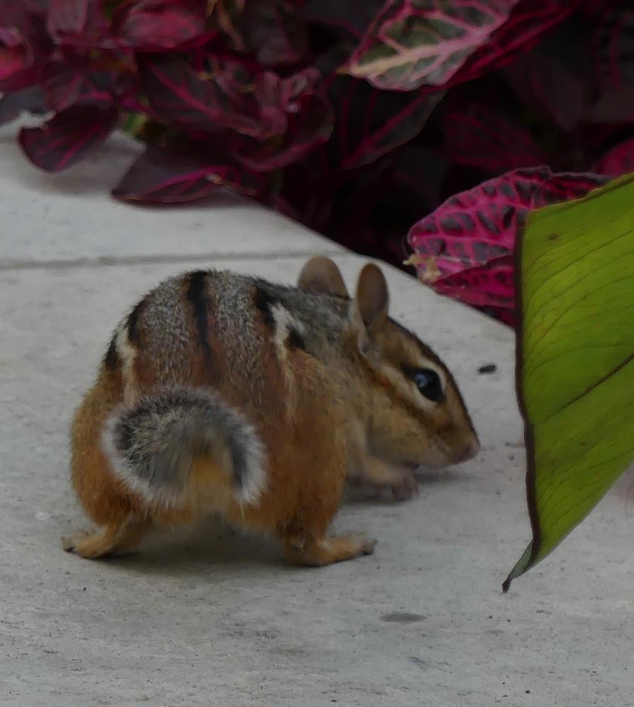 Tamia et écureuils noirs à Ottawa...