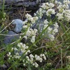 Gaillet à feuilles d'Asperge (Galium corrudifolium)