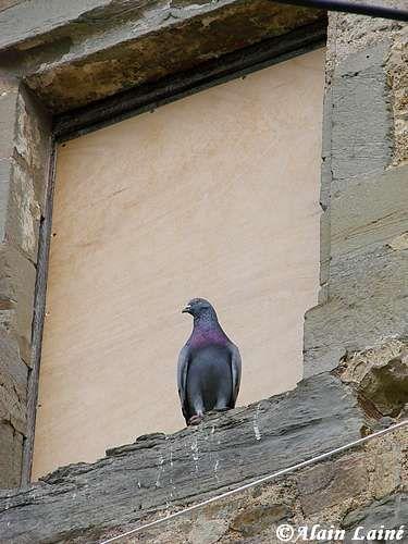 Pigeon_Juin08