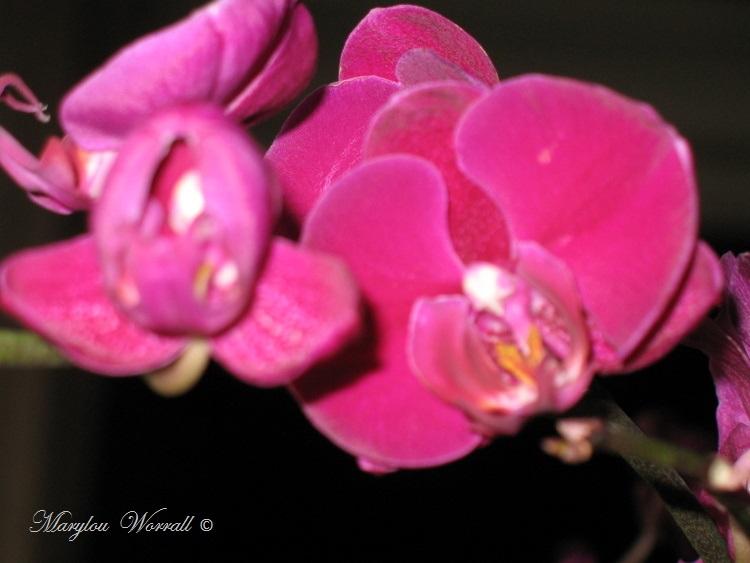 Orchidée sauvée des fatras