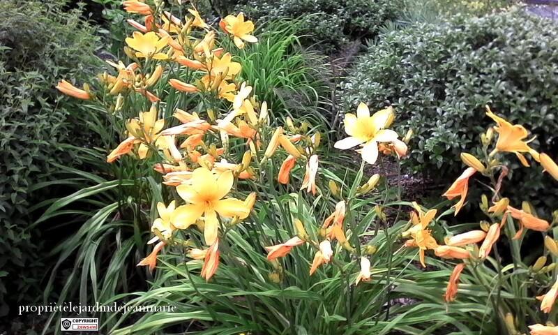 Les hémérocalles sont des plantes de culture facile. Robustes, rustiques et rarement malades, elles devraient être présentes dans chaque jardin.  Plantez les hémérocalles au plein soleil pour qu'une a