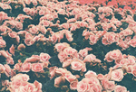 Images -Roses.