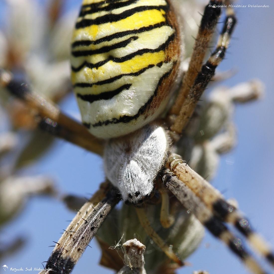Epeire fasciée (Argiope bruennichi)
