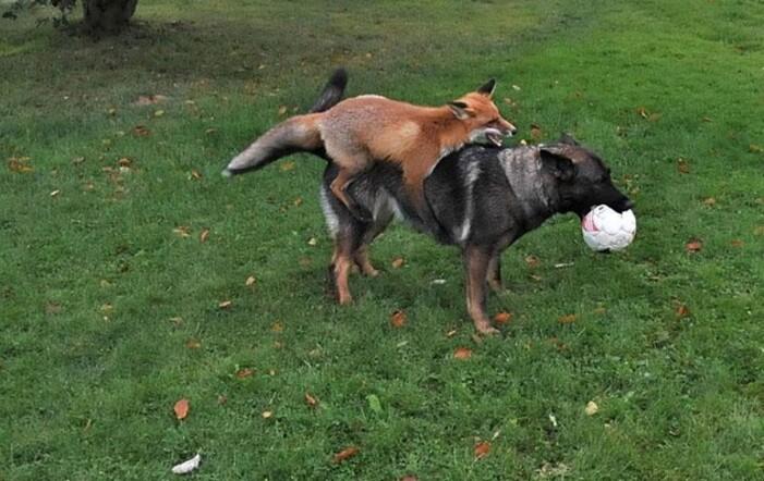 Comme a saute mouton