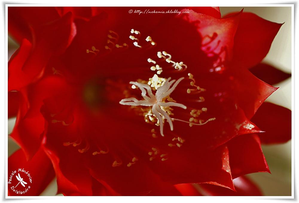 Epiphyllum 'Bruin' - Cactus Esterel