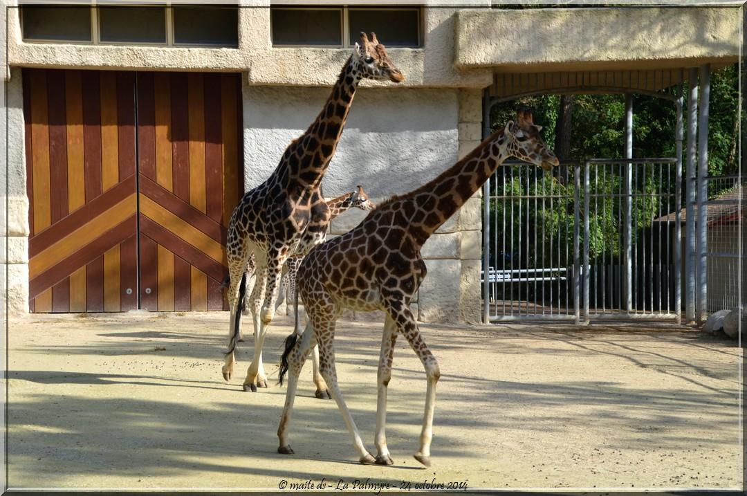 Girafes -  Zoo de la Palmyre - Charente-Maritime (2)