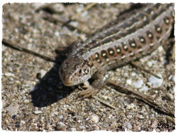 Reptiles 9401 lézard agile