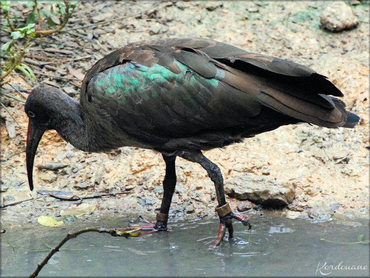 Ibis de Ridgway (Zoo de Doué la Fontaine)