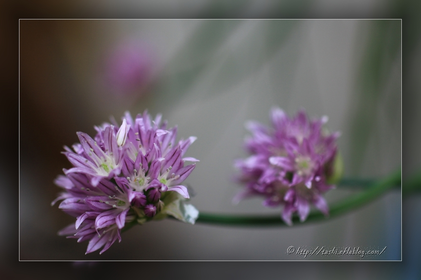 Fleur de ciboule