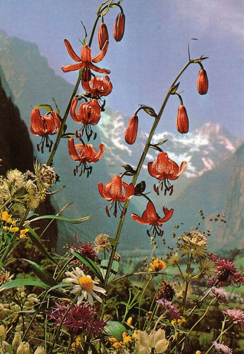 cartes postales fleurs des Alpes