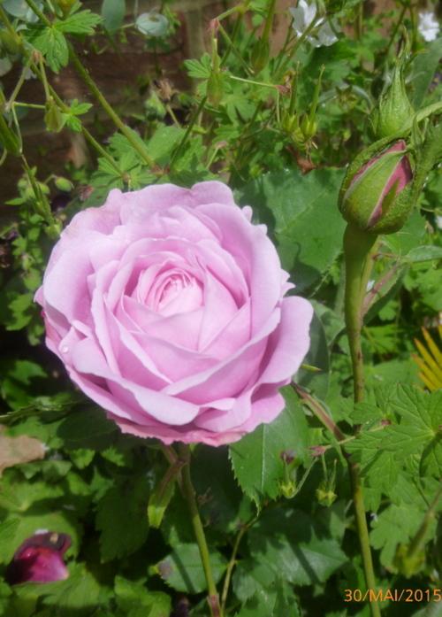 Quelques roses écloses en cette fin mai
