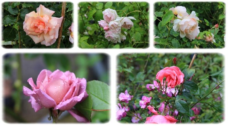 Mes amis, quel WE!!! - Partie 1 ou la Roseraie de Daniel et le baptême de la rose Isabelle et le Magicien d'Oz