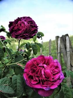 Les roses sont de retour! (5ème partie)