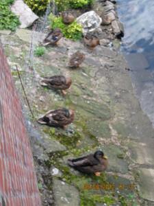 010-canards sur les bords de la Niers