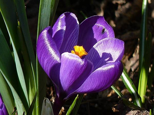 Crocus-violet-1fleur