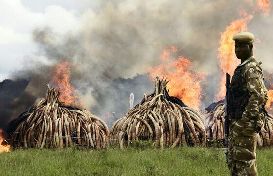 Au total, dix pyramides d'ivoire et une pile de cornes de rhinocéros ont ainsi été mises à feu par des invités de marque.