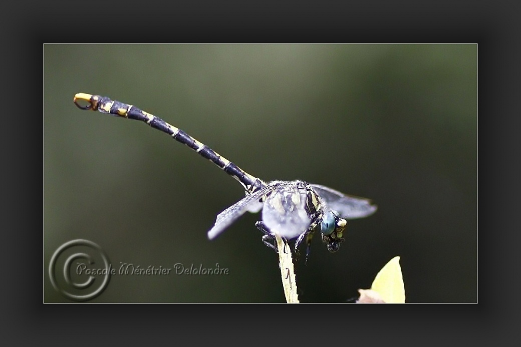 Libellule Gomphe à crochets (Onychogomphus uncatus)