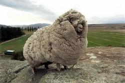 Mouton pas tondu