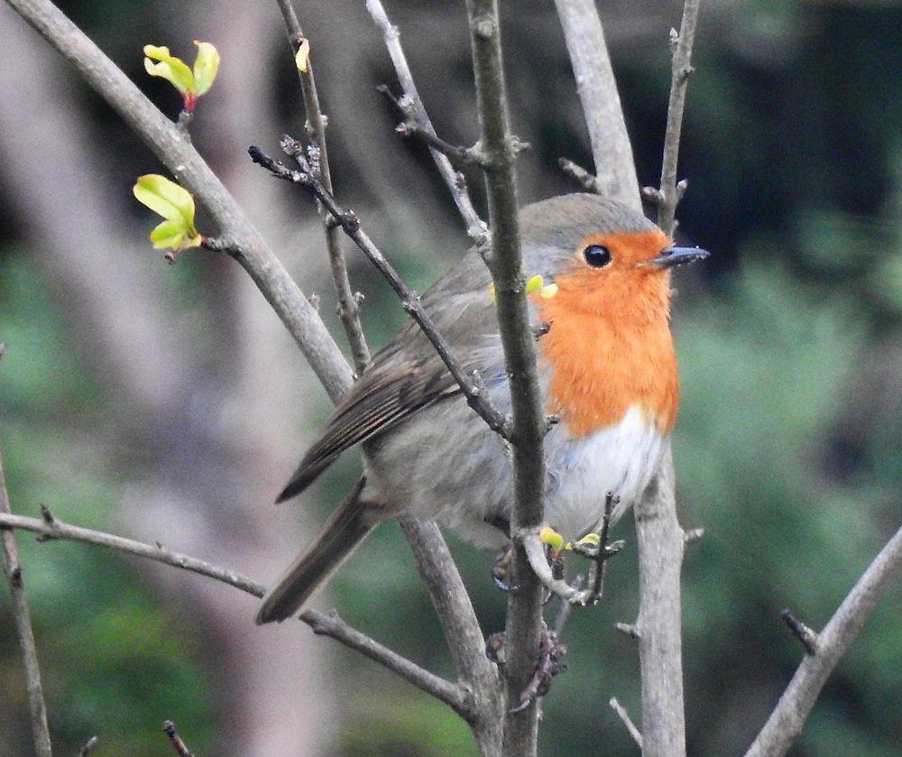 Les oiseaux du jardin : le rouge-gorge en novembre 2020...
