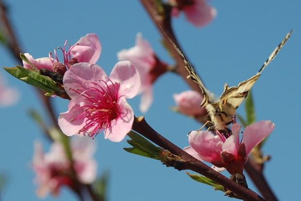 fleurs-peche-et-papillon-k