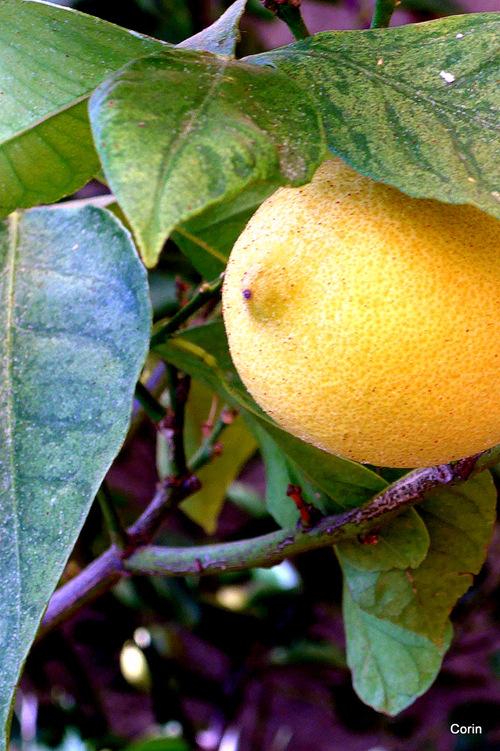 Les citrons ...