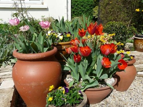 Tulipes, Viola