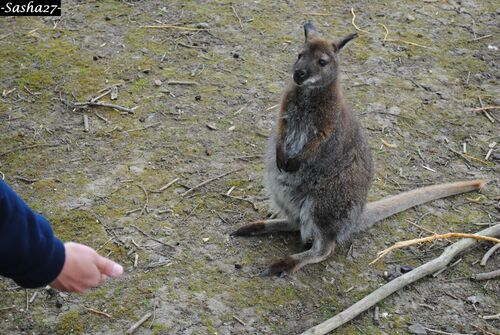 Wallaby ♂