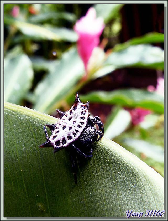 Blog de images-du-pays-des-ours : Images du Pays des Ours (et d'ailleurs ...), Araignée crabe, Spinybacked Orbweaver, Smiley Face Spider (Gasteracantha cancriformis) - Costa Rica