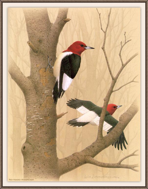 鸟类的艺术家齐默尔曼,阿尔伯特