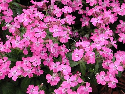 plantes-sauvages-silene