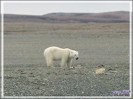 Vers 14 heures, enfin je pars en Zodiac vers l'ours, il n'a pas bougé d'un poil et mange toujours - Creswell Bay - Somerset Island - Nunavut - Canada