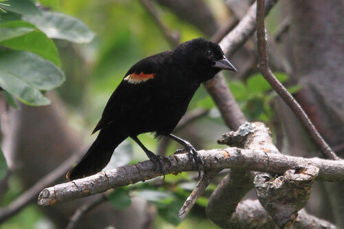 Carouge à Epaulettes (Red-winged Blackbird)
