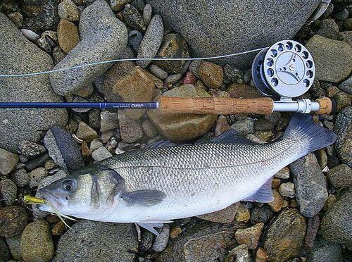 La pêche du bar fermée jusqu'au 1°juillet pour les pêcheurs de loisir en Manche! Après ce sera un bar par jour et par pêcheur!