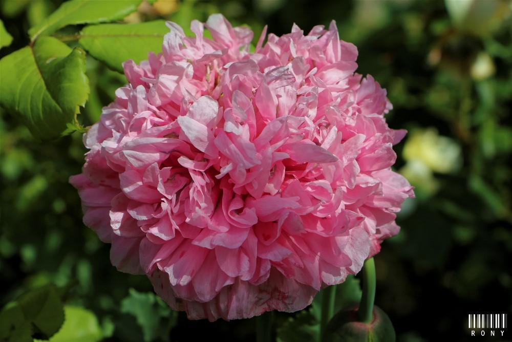 Le jardin des roses : Part.2