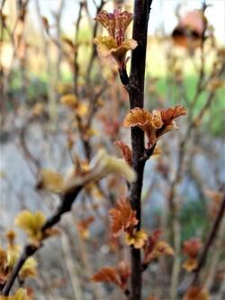 Début avril! Festival de narcisses et 1ères feuilles!