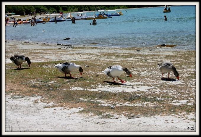 Les oies au bord du lac en Crète