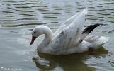 Coscoroba blanc ou swan