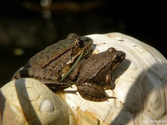 Grenouilles sur tortue - Photo Régis