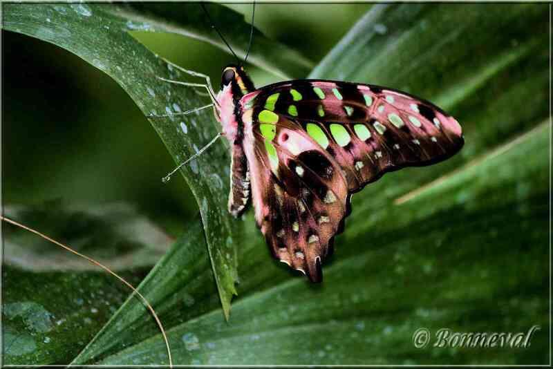 Papillons tropicaux Graphium agamemnon Papilionidae