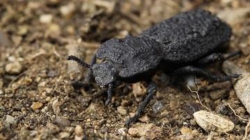 Le scarabée diabolique ...