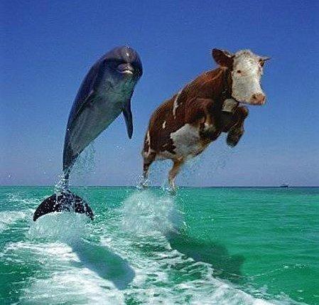 comme vache et dauphin