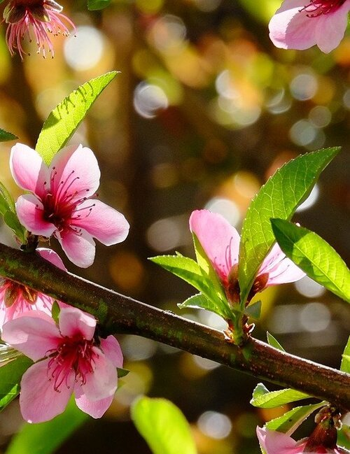 Fleurs cultviées : Nectarinier