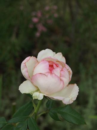 Rose Honoré de Balzac de Meilland ( Meiparnin )