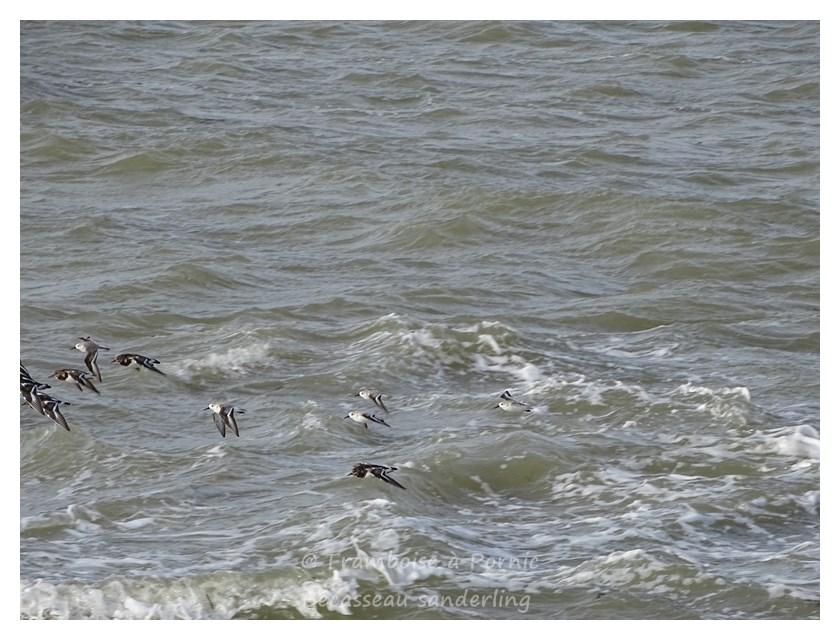 Bécasseau sanderling - 2016