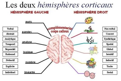 Deux hemisphères cérébraux