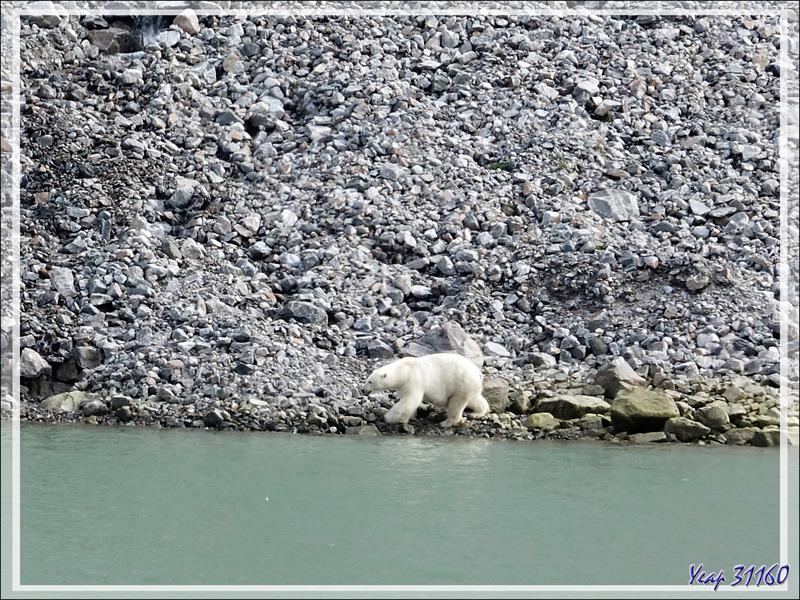 Une des rares observations d'Ours blanc ou Ours polaire (Polar bear) - Icy Fjord - Nunavut