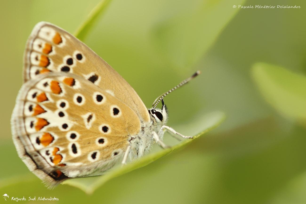 Azuré commun - Polyommatus icarus - Lycaenidae