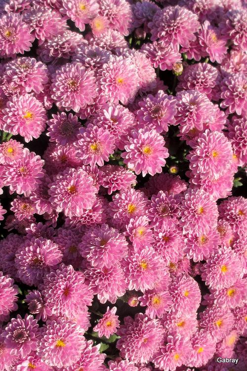 Toussaint: des chrysanthèmes!