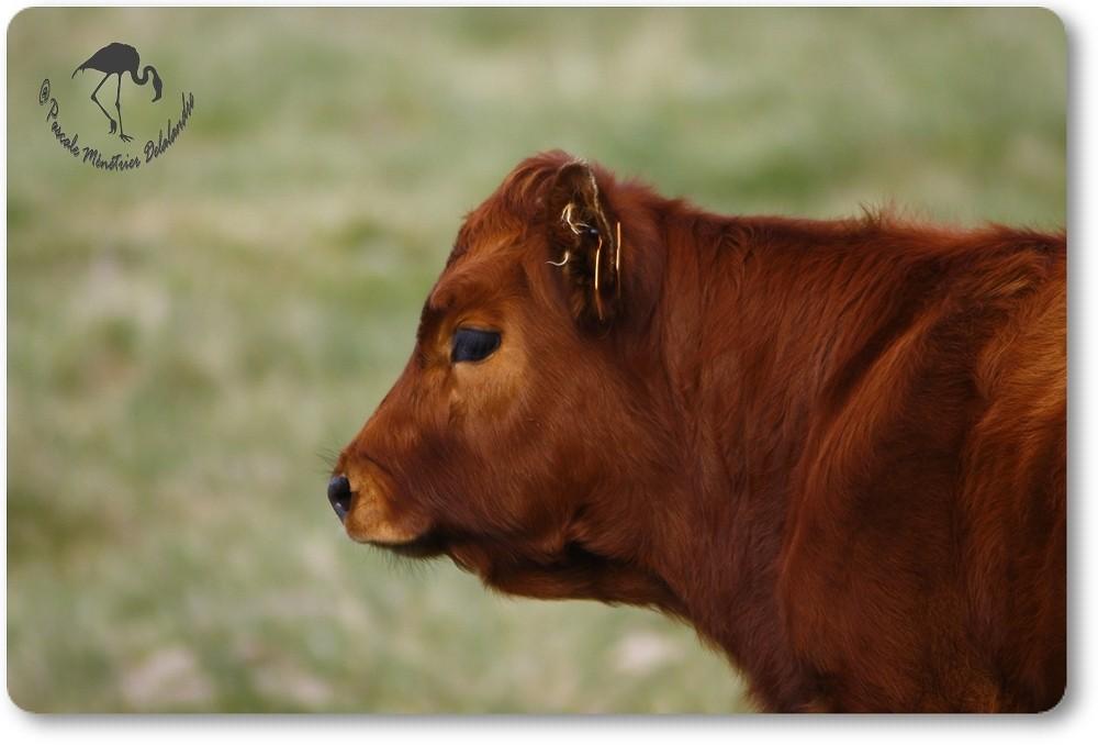 Portrait d'un veau Aubrac...