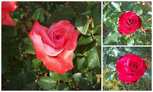 roses-19-mai-2011-2.jpg